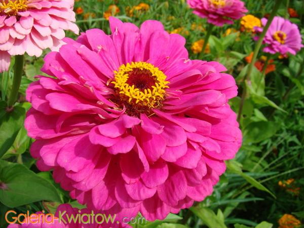 Różowe kwiaty ogrodowe