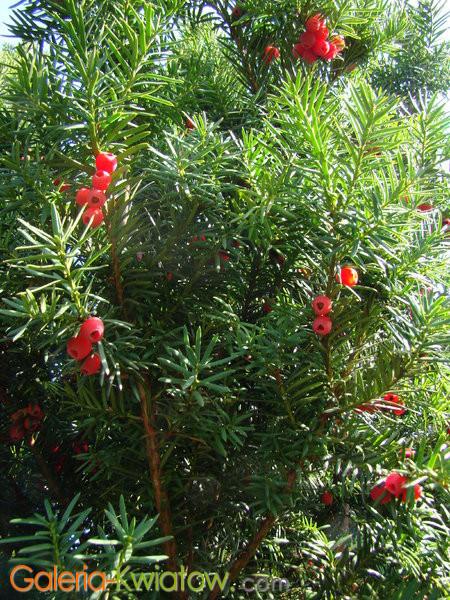 Uprawa cisu w ogrodzie botanicznym