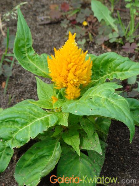 Żółta celozja w ogrodzie