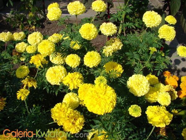żółte Aksamitki Ogrodowe