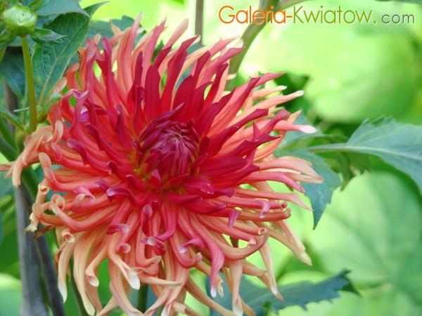 Kwiat z rurkowymi płatkami