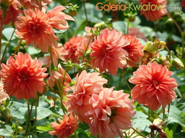 Kwiaty łososiowe
