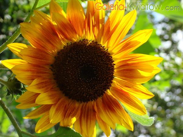 Słonecznik ozdobny