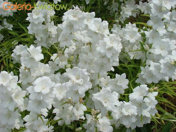 Dzwonek brzoskwiniolistny campanula persicifolia