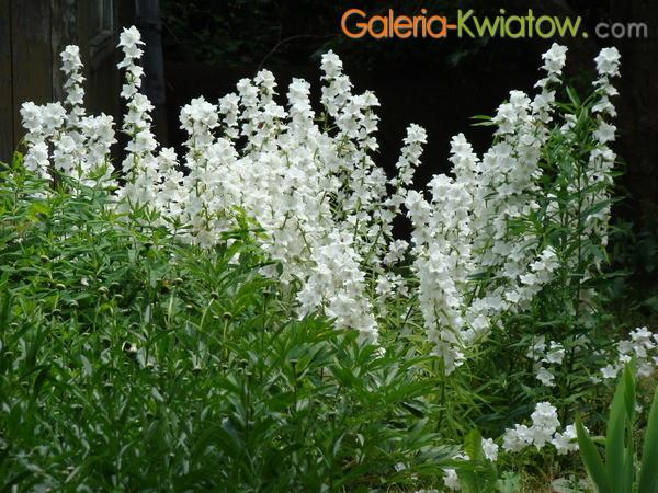 Kwiat dzwonek brzoskwiniolistny