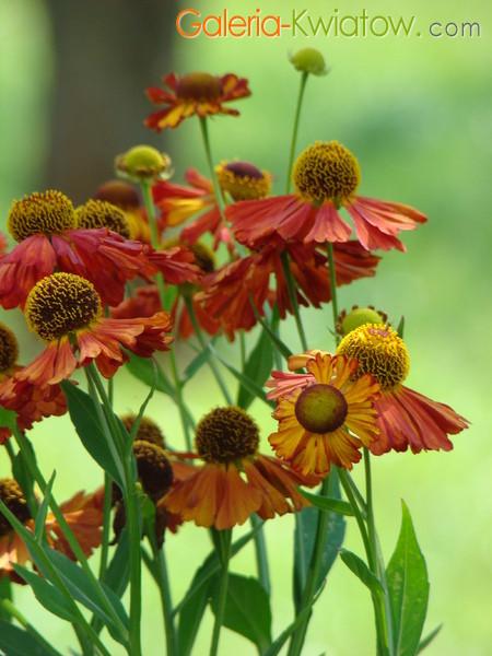 Kwiaty dzielżan
