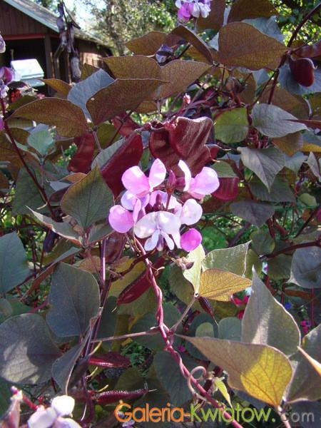 Fasolnik egipski kwiat