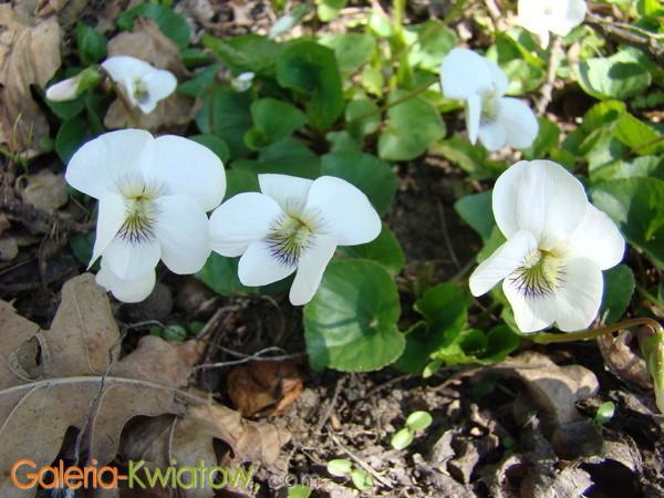 Fiołek wonny kwiat