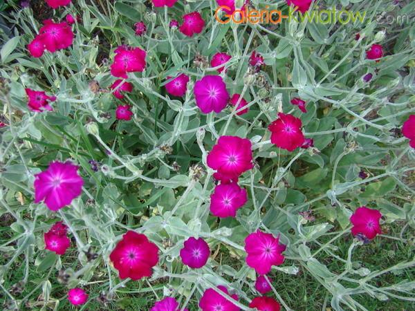 Firletka omszona kwiat