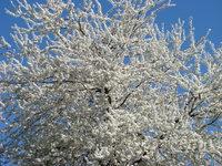 Białe drzewo owocowe
