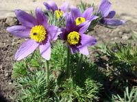 Kwitnąca sasanka fioletowa