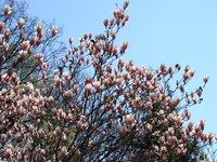 Magnolia o wielkich kwiatach