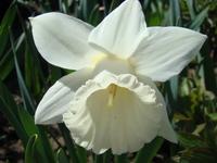 Narcyz trąbkowy biały