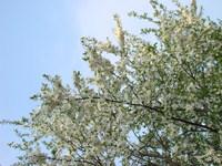 Niebo z białymi kwiatami
