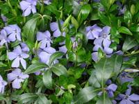 Barwinek kwiaty