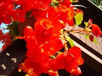 Begonia uprawa