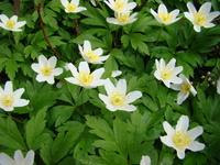 Białe kwiaty zawilca