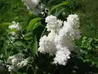 Biały lilak