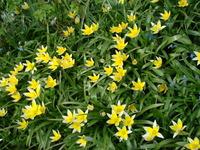 Dzikie tulipany