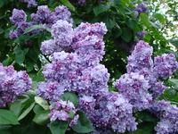 Fioletowe kwiaty bzu