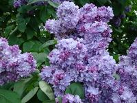 Fioletowe kwiaty lilaka