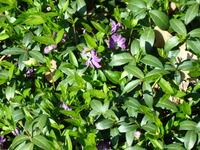 Fioletowy barwinek