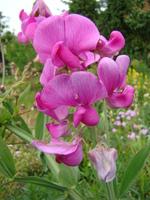 Groszek różowy