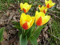 Holenderskie tulipany