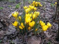 Krokusy kwiaty