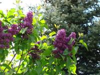Krzew lilaka fioletowego