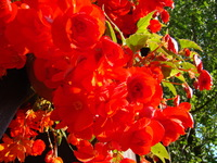 Kwitnące begonia