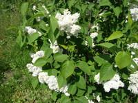 Kwitnący krzew bzu