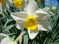 Kwitnący narcyz