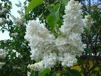 Lilak krzew