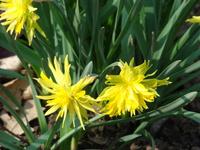 Narcyz strzępiasty w ogrodzie botanicznym