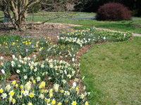 Narcyzy w ogrodzie botanicznym