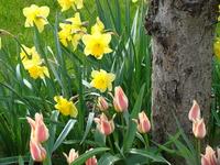 Narcyzy z tulipanami