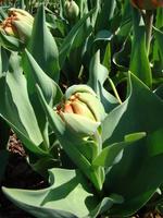 Pąk tulipana