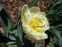Pręciki tulipana