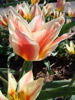 Tulipan zdjęcie