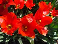 Tulipany zdjęcie