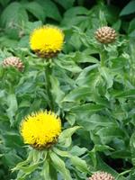 Żółte chabry w ogrodzie
