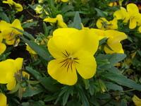 Żółty bratek wielkokwiatowy