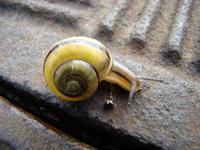 Żółty ślimak