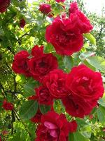 Altana z róż