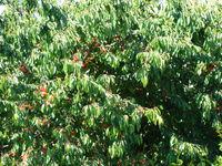 Czereśnia drzewo
