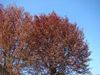 Czerwone liście na drzewie