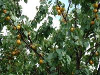 Drzewko morelowe