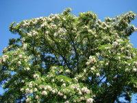 Drzewo akacjowe