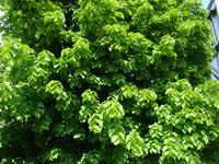 Drzewo lipa szerokolistna